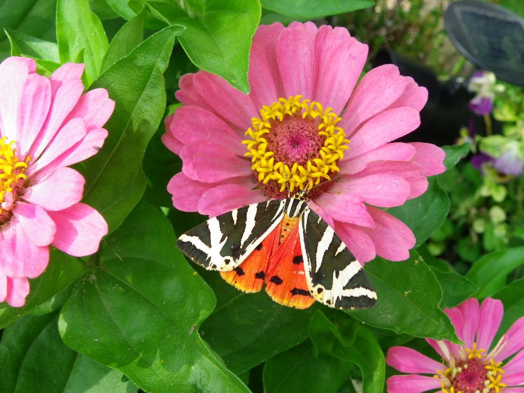 papillon et zinnia