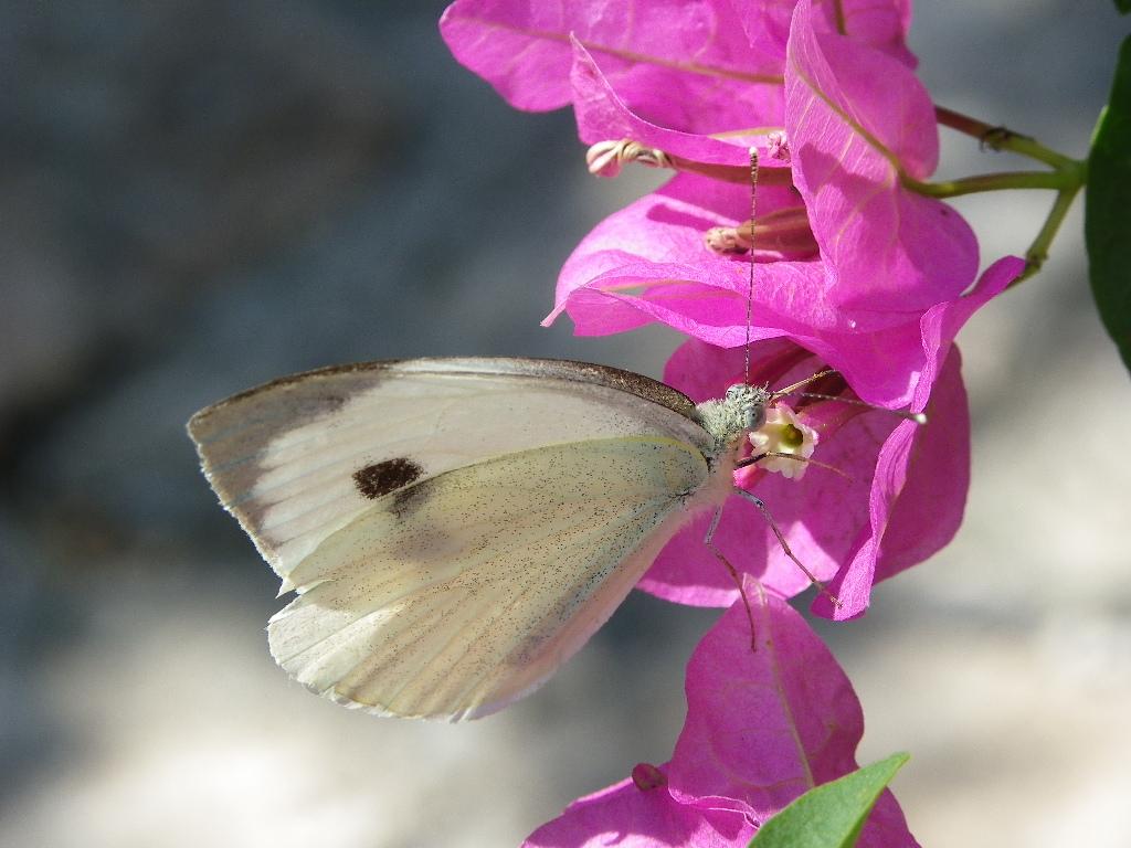 papillon blanc et bougainvillier